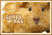 Animals: Guinea Pigs